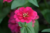 <b>Zinnia 'Magellan Cherry'</b> <i>(Zinnia elegans)</i>   (March 2, 2008)