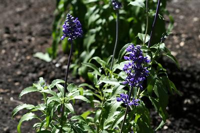 Mystic Spires Blue Salvia