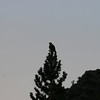 A Prairie Falcon atop a tree in Onion Valley.