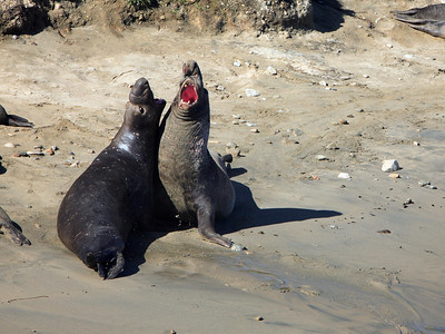 Elephant seals (bulls) fight each other to see which one will get to mate with the females. The winner gets to mate, and the loser has to leave.