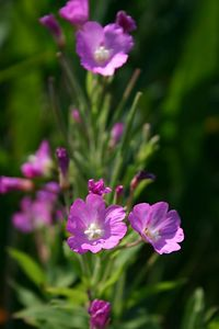 Willow Herb (Humber Bay Park, Toronto)