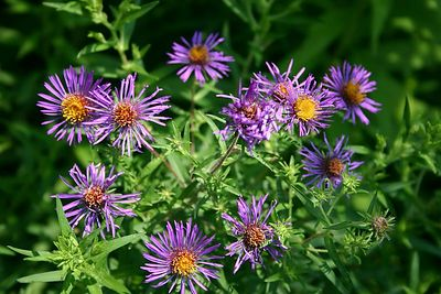 Asters (Humber Bay Park, Toronto)