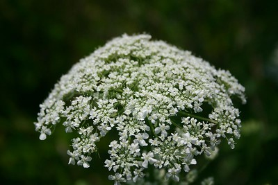 Queen Anne's Lace (Humber Bay Park, Toronto)