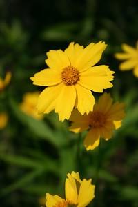 Lance-Leaved Coreopsis (Humber Bay Park, Toronto)