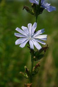 Chicory (Humber Bay Park, Toronto)