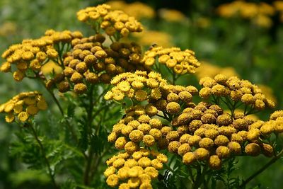 Common Tansy (Humber Bay Park, Toronto)