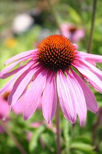 Purple Coneflower (Humber Bay Park, Toronto)