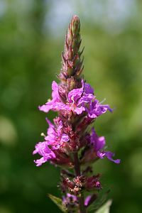 Purple Loosestrife (Humber Bay Park, Toronto)