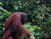 In Sarawak we moved to another area.  This was big daddy and he arrived by swinging through the forest like Tarzan. He was about 6 feet tall and was easily 300 pounds.