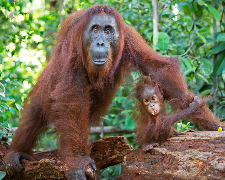This photograph of a Bornean Orangutan mother and her baby was captured in Tanjung Puting National Park in Borneo, Indonesia (5/13).  This photograph is protected by the U.S. Copyright Laws and shall not to be downloaded or reproduced by any means without the formal written permission of Ken Conger Photography.