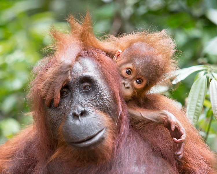 This photograph of a Bornean Orangutan baby on top ot the mother was captured in Tanjung Puting National Park in Borneo, Indonesia (5/13).  This photograph is protected by the U.S. Copyright Laws and shall not to be downloaded or reproduced by any means without the formal written permission of Ken Conger Photography.