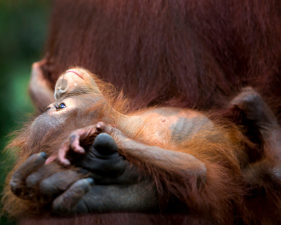 This photograph of a Bornean Orangutan baby was captured in Tanjung Puting National Park in Borneo, Indonesia (5/13).  This photograph is protected by the U.S. Copyright Laws and shall not to be downloaded or reproduced by any means without the formal written permission of Ken Conger Photography.