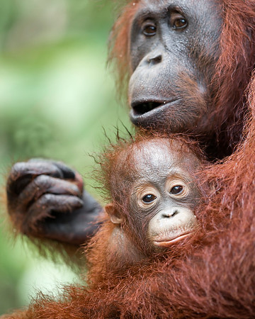 This photograph of a Bornean Orangutan mother and baby was captured in Tanjung Puting National Park in Borneo, Indonesia (5/13).  This photograph is protected by the U.S. Copyright Laws and shall not to be downloaded or reproduced by any means without the formal written permission of Ken Conger Photography.