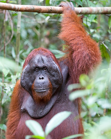 This photograph of a dominant male Bornean Orangutan was captured in Tanjung Puting National Park in Borneo, Indonesia (5/13).  This photograph is protected by the U.S. Copyright Laws and shall not to be downloaded or reproduced by any means without the formal written permission of Ken Conger Photography.