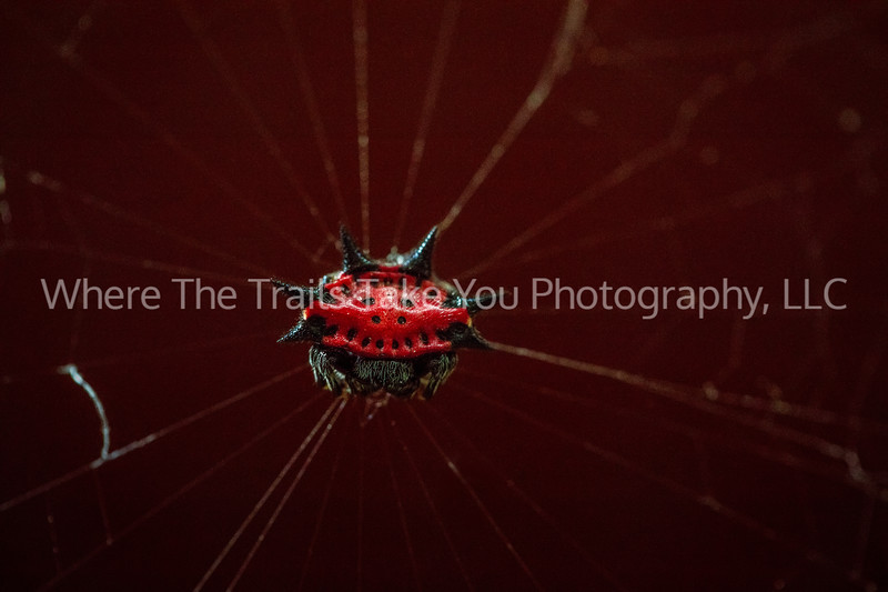 Spiny Backed Orb Weaver 2
