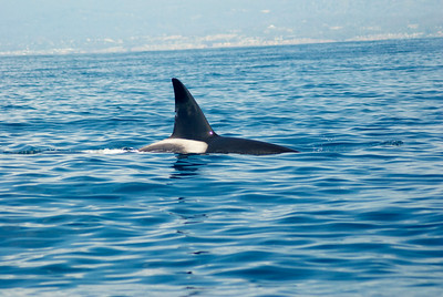 Orcas In Monterey Bay 8-2014