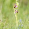 Ophrys Scolapax, Le Clapier 13.05.2015