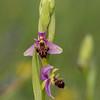 Die Schnepfen-Ragwurz (Ophrys scolopax)