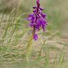 Männliche Knabenkraut (Orchis mascula)<br /> Val Suvretta 29.05.2014