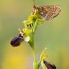 Kleine Spinnen-Ragwurz (Ophrys araneola) & Melitaea phoebe
