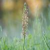 Ohnhorn (Aceras anthropophorum) im Morgenlicht.