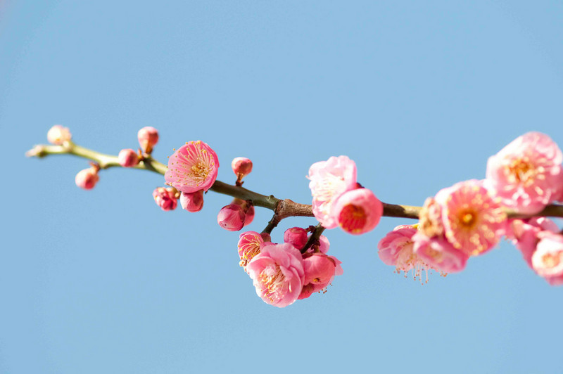 First buds of spring - on a plum tree...