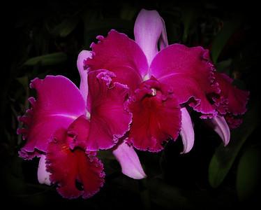 Flower - Orchid - Brassolaeliocattleya Chrissy Compton 'Mary Piazza'