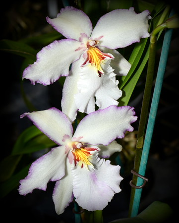 Flower - Orchid - Aliceara Donald Halliday 'Smile Eri'