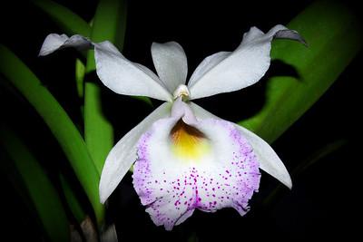 Flower - Orchid - Brassocattleya Inboriboon