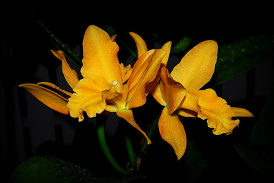 Flower - Orchid - Brassolaeliocattleya Lovely Laurel 'Gold Fortune'