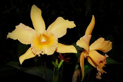 Flower - Orchid - Brassolaeliocattleya Dorothy Bertsch 'Desert Sand'
