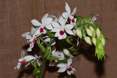 Flower - Orchid - Calanthe Granville 'Cranberry' x Calanthe St. Iberia