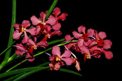 Flower - Orchid - Ascocenda VJ x Ascocenda Eileen Beauty