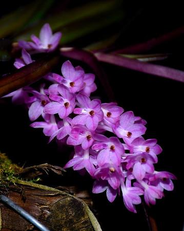 Flower - Orchid - Ascocentrum christensonianum