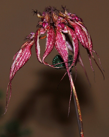 Flower - Orchid - Bulbophyllum Lovely Elizabeth
