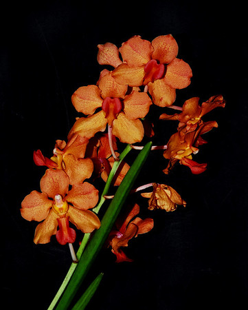Flower - Orchid - Ascocenda 'Summer Delight'