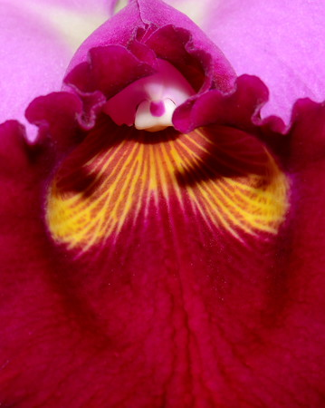 Flower - Orchid - Cattleya