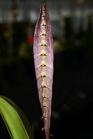 Flower - Orchid - Bulbophyllum purpureorhachis