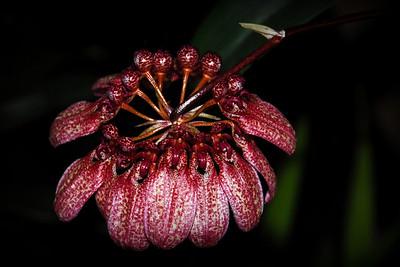 Flower - Orchid - Bulbophyllum eberhardtii