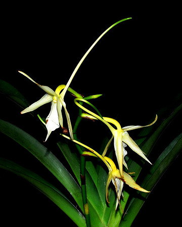 Flower - Orchid - Angraecum