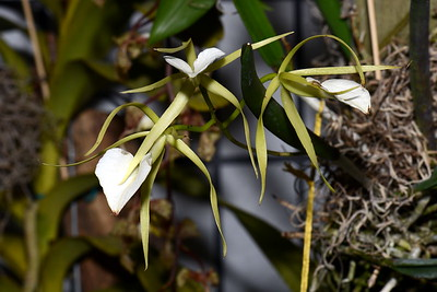 Flower - Orchid - Brassavola Little Stars