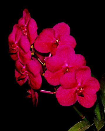 Flower - Orchid - Ascocenda Thai Joy