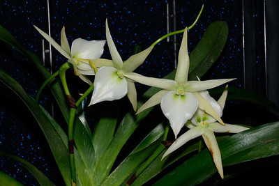 Flower - Orchid - Angraecum veitchii 'White Star'