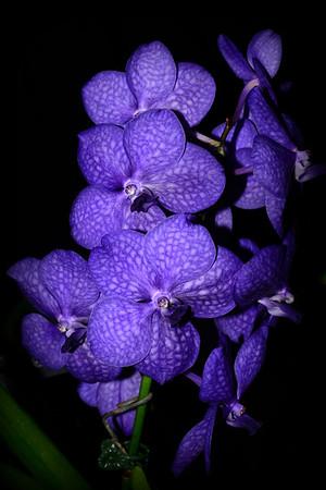 Flower - Orchid - Asocenda Princess Mikassa