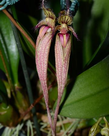 Flower - Orchid - Bulbophyllum putidum