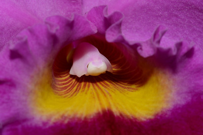 Flower - Orchid - Brassolaeliocattleya Hausermann's Holliday 'New Year's Day'