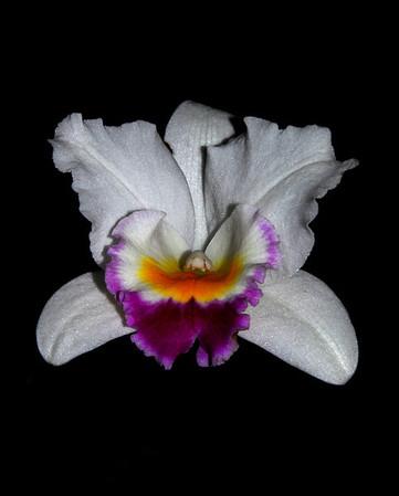 Flower - Orchid - Brassolaeliocattleya 'Hsinying Catherine'