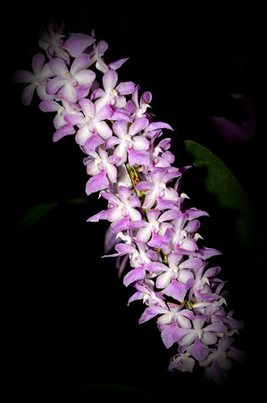 Flower - Orchid - Aerides fieldingii