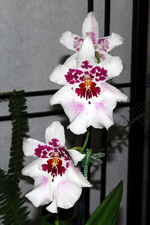 Flower - Orchid - Beallara Purple Haze 'Jim Hendrick'