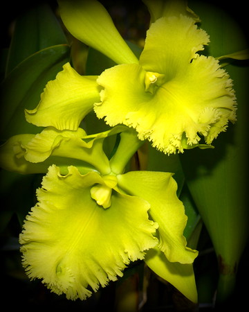 Flower - Orchid - Brassolaeliocattleya Ports of Paradise 'Emerald Isle'